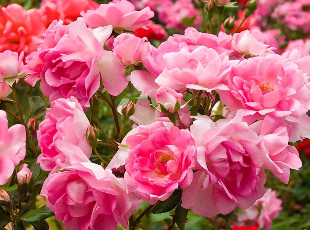 Burpee_Rose_4lb-2