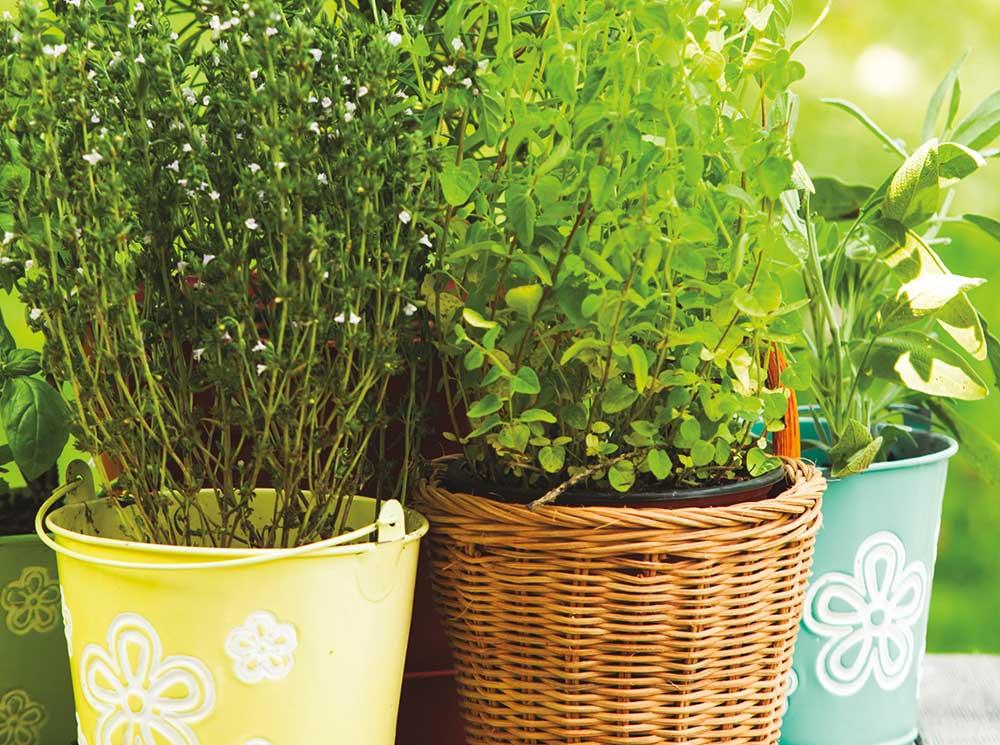 Burpee-leafy-green-pots