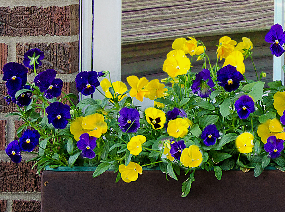 Burpee-pottingmix-pansies